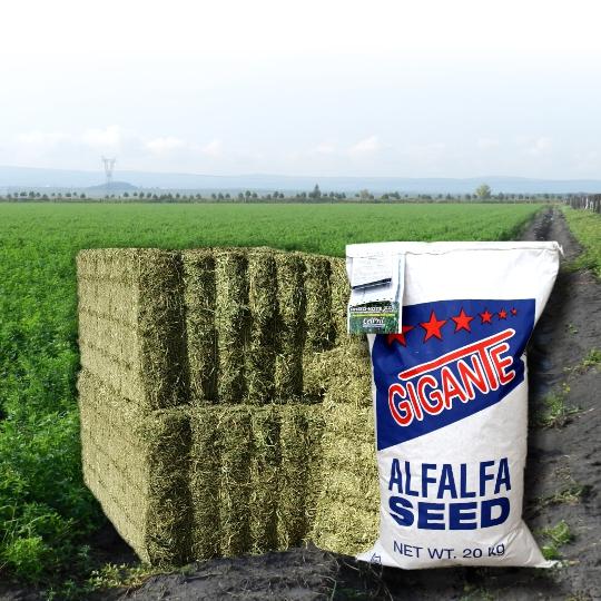 Alfalfa Gigante Norte